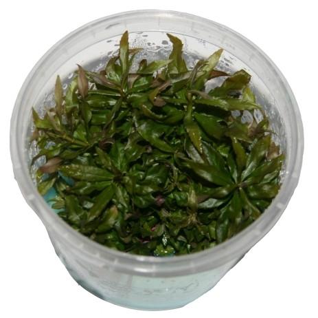 1 Dose Pogostemon stellatus in vitro, Wasserstern, Wasserpflanzen steril angezogen