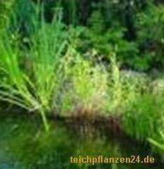 Mühlan - 10 wurzelnackte Pflanzen für die Bepflanzung der Sumpfzone und das Teichufer, mindestens 5