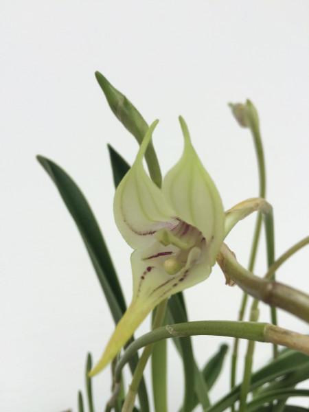 1 blühfähige Orchidee der Sorte: Masdevallia coriacea , traumhafte Orchidee vom deutschen Züchter