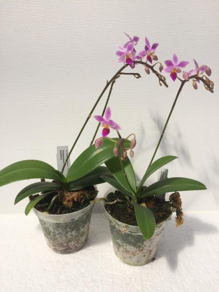 1 blühfähige Orchidee der Sorte: Phalaenopsis equestris, traumhafte Orchidee vom deutschen Züchter