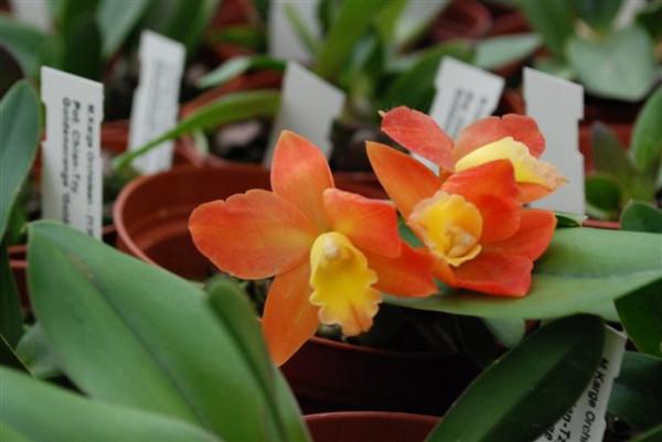 1 blühfähige Orchidee der Sorte: Potinara Chan Tzy Golden Orange 'Golden Boy', 10-12cm Topf