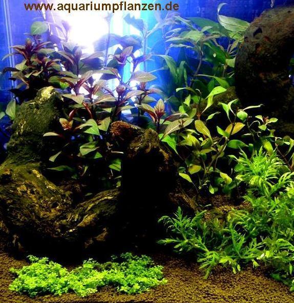 Mühlan - Wasserpflanzensortiment Farbtraum, überwiegend farbige und rote Aquarienpflanzen inkl. Düng