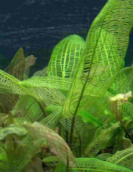 Aponogeton Madagascariensis, Breite Gitterpflanze