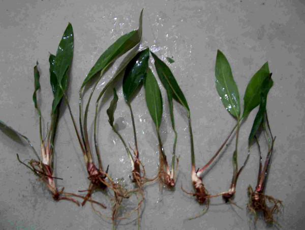 1 Topf Anubia Congensis, Aquariumpflanze