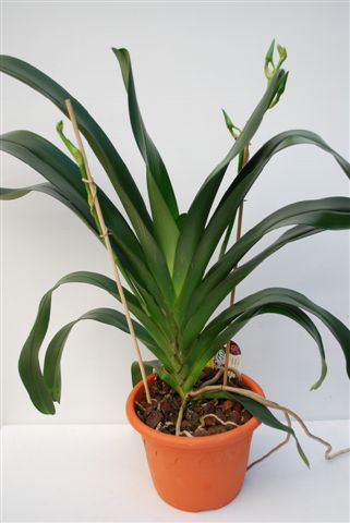 1 blühfähige Orchidee der Sorte: Angraecum Veitchii, 16-18cm Topf