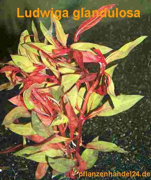 Mühlan - 7 Bund / Portionen Ludwiga für den Gartenteich, Sauerstoffpflanzen für den Teich