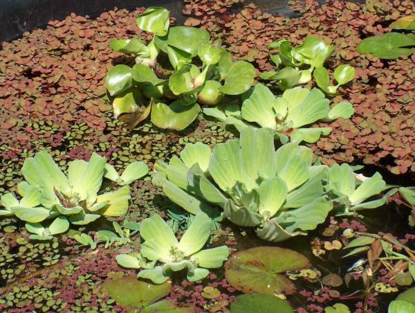 Mühlan - Gartenteich Schwimmpflanzenmix, 8 ausgewachsende Pflanzen, je 2 x Wassernuss, Muschelblume,