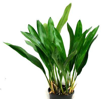 1 blühfähige Orchidee der Sorte: Dendrochillum filiforme, 13cm Topf