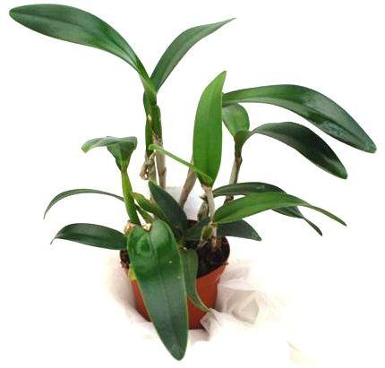 1 blühfähige Orchidee der Sorte: Cattleya daffodil, 14cm Topf