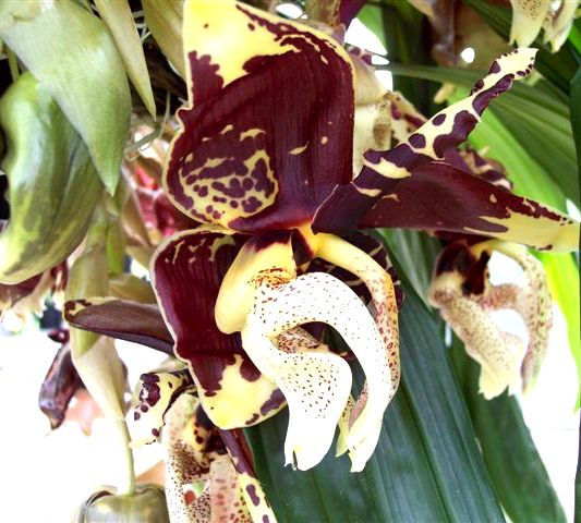 1 blühfähige Orchidee der Sorte: Stanhopea tigrina, 14cm Korb