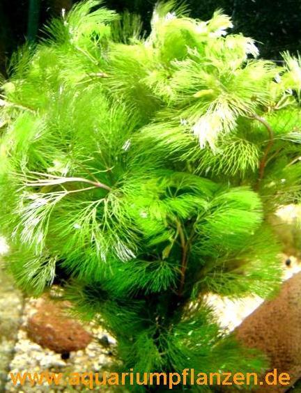 1 Bund Goldene Haarnixe Cabomba aquatica, Riesen