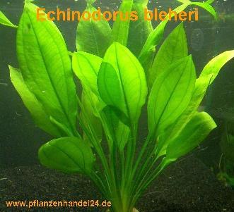 1 Topf Echinodorus Bleheri, Wasserpflanze