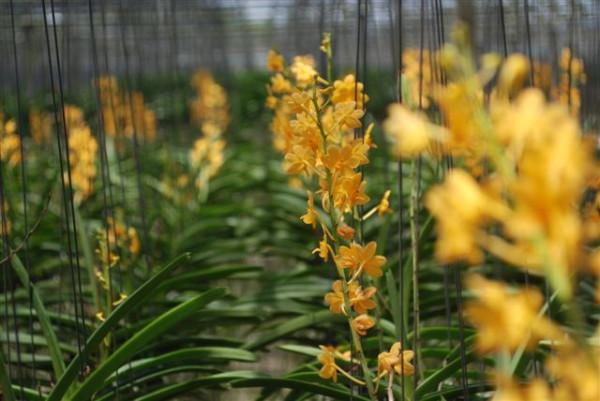 1 blühfähige Orchidee der Sorte: Ascocenda lilacinum x miniatum