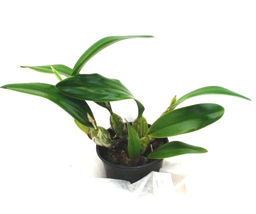 1 blühfähige Orchidee der Sorte: Laelia anceps, 13cm Topf