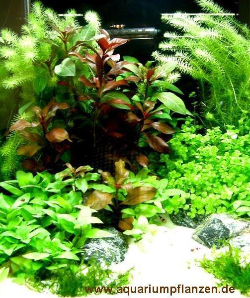 Mühlan - Wasserpflanzensortiment für Anfänger und Neuaquarianer, pflegleicht, dekoativ, wiederstands
