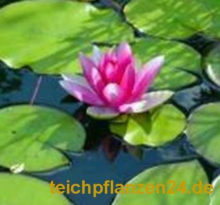 Mühlan - Pflanzenset für Teichkübel oder Miniteiche, Zwergseerose, Schwimmpflanzen, Wasserpflanzen,