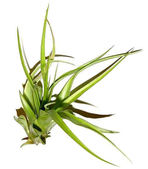 1 Tillandsia hondurensis, Tillandsien für Terrarien, Aufsitzerpflanzen