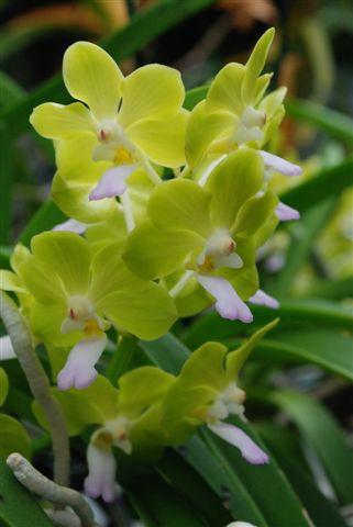 1 blühfähige Orchidee der Sorte: Ascocenda, aufgebunden, Blüte klein, starkt duftend