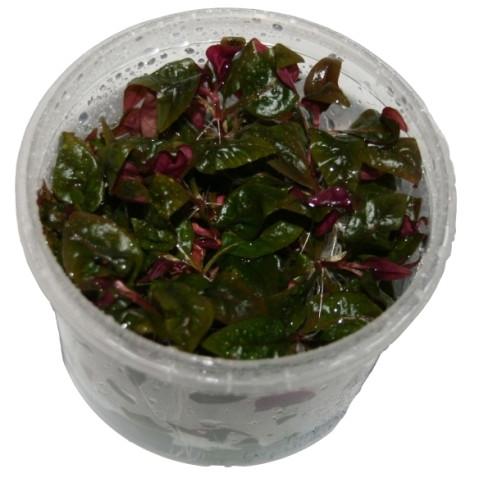1 Dose Altennathera reineckii in vitro, Papageinblatt, Wasserpflanzen steril angezogen