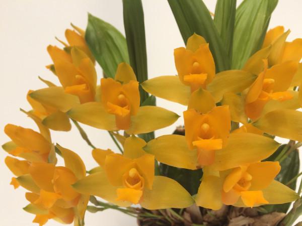 1 blühfähige Orchidee der Sorte: Lycaste consobrina x aromatica (4), traumhafte Orchidee vom deutsc