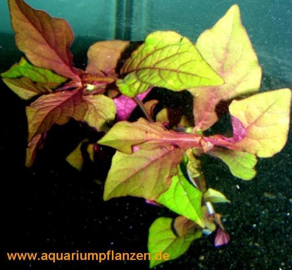 1 Bund Hemigraphis species, farbenprächte Pflanze