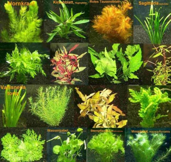9 Bund - ca. 55 Aquarienpflanzen + Dünger, Anti Algen, buntes Sortiment, pflegeleichte Sorten - Mühl