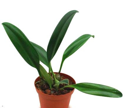 1 blühfähige Orchidee der Sorte: Bulbophyllum nymphopolitanum, 9cm Topf