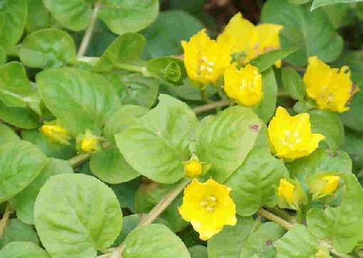 1 Bund grünes Pfennigkraut, Lysimachia nummularia