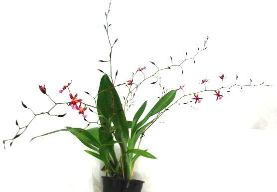 1 blühfähige Orchidee der Sorte: Oncidium Kathrin Zorch, duftend, 12cm Topf