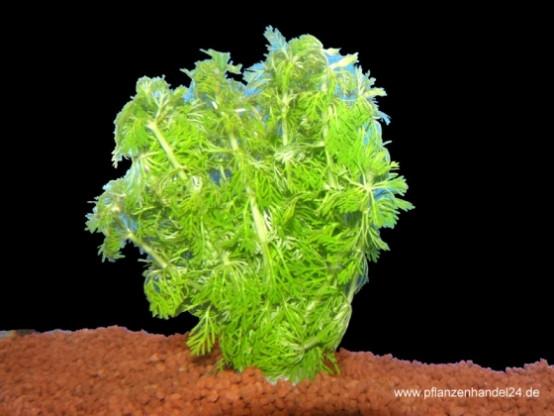 1 Bund Limnophila sessiliflora, kleine Ambulia