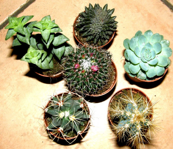 3 getopfte Sukkulenten + 3 Kakteen, Pflanzenmix für Wüstenterrarien