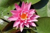 1 SEEROSE der Sorte Rose Arey, rosa Blüte