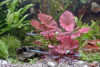 5 Bund Aquarienpflanzen und 2 Tigerlotus, Lotus