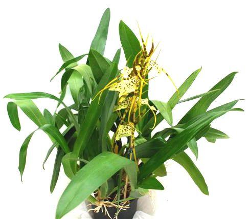 1 blühfähige Orchidee der Sorte: Brassia Rex, 13cm Topf