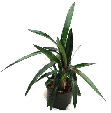 1 blühfähige Orchidee der Sorte: Epidendrum floribundum,11cm Topf