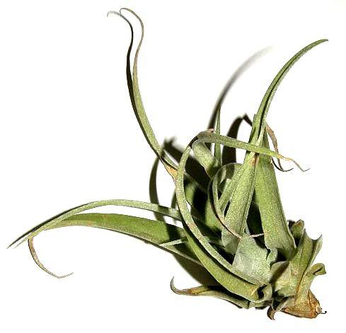 1 Tillandsia pruinosa, Tillandsien für Terrarien, Aufsitzerpflanzen