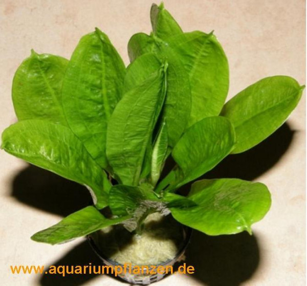 1 Topf Echinodorus Tropica, Schwertpflanze