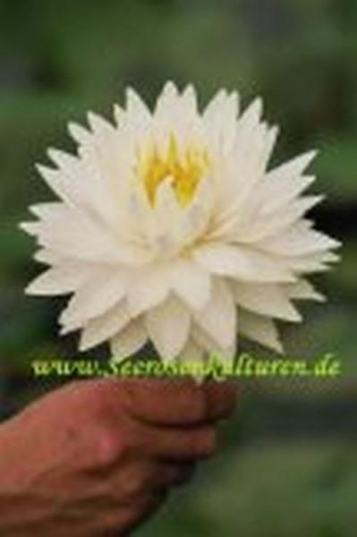 Mühlan - Eine weiße blühend Zwergseerose für den Teich, der Blickfänger in kleinen Gartenteichen, wi