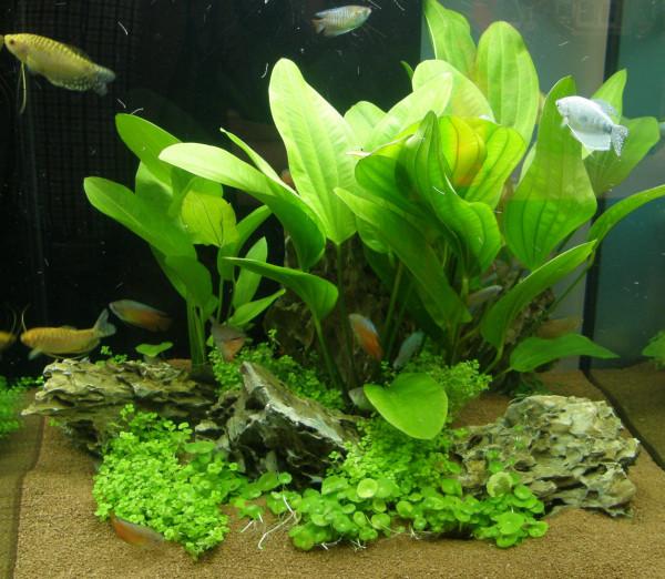 5 Topf Wasserpflanzen und 10 lose Echinodorus