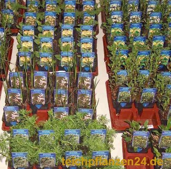 Mühlan - 6 Töpfe (mindestens 4 Sorten) Teichpflanzen für den Gartenteich, ideal zur Bepflanzung der