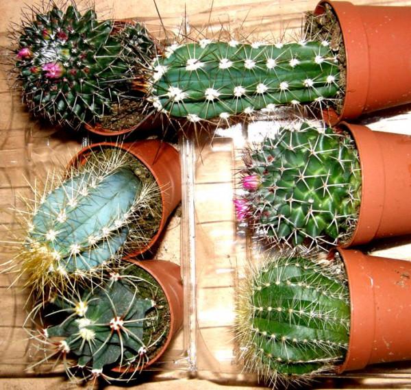 Kakteenmix 6 Kakteen mindestens 3 verschiedene Sorten für Terrarien und Paludarien, Kaktus
