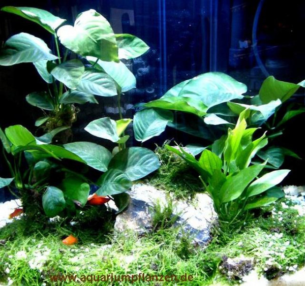 Mühlan - Wasserpflanzensortiment für Barschliebhaber, robust, hartlaubig, ausdauernd inkl. Dünger