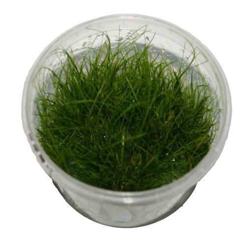 1 Dose Elocharis acricularis invitro, Nadelsimse, Wasserpflanzen steril angezogen