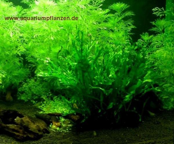 Mühlan - Wasserpflanzenmix für den Gartenteich, 4 Sorten Teichpflanzen, Sauerstoffpflanzen 8 Bund/Po