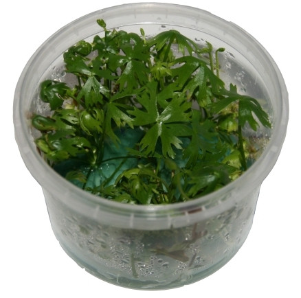 1 Dose Rannunculus papulentus in vitro, Wasserpflanzen steril angezogen