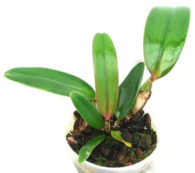 1 blühfähige Orchidee der Sorte: Cattleya jenmanii, 12cm Topf