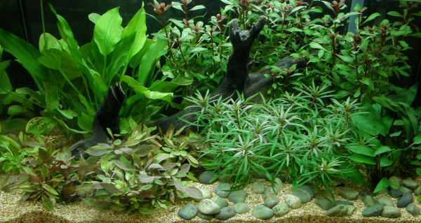 Aquariumpflanzen Set 100 - 200 l Aquarium (6)