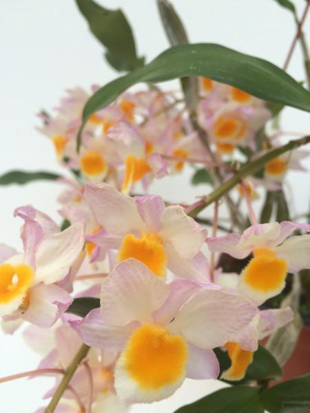1 blühfähige Orchidee der Sorte: Dendrobium farmeri, traumhafte Orchidee vom deutschen Züchter