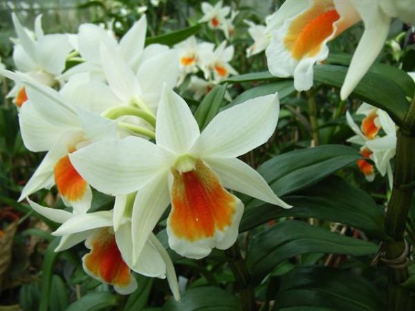 1 blühfähige Orchidee der Sorte: Dendrobium Dawn Maree, 13cm Topf