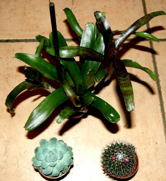1 getopfte Sukkulente + 1 Kaktus + 1 Bromelie, Grünpflanzenmix, Topfpflanzen
